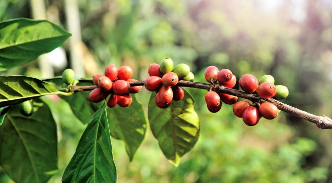 Coffee Production in Chittagong Hill Tracts